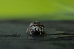 Spider jumper Stock Images
