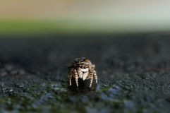Spider jumper. Close up photograph of jumper spider Stock Photo