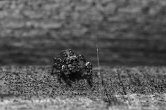 Spider jumper Royalty Free Stock Photos