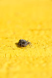 Spider jumper Royalty Free Stock Images