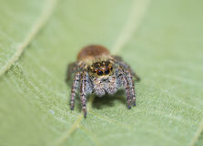 Spider jumper posing on the leaves Stock Images