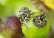 Spider-jumper (Salticidae) Royalty Free Stock Image