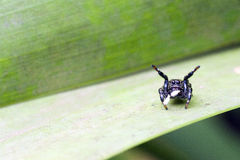 Spider jumping arachnid species of Salticidae family Stock Photography