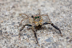 Spider Jumping Royalty Free Stock Photos