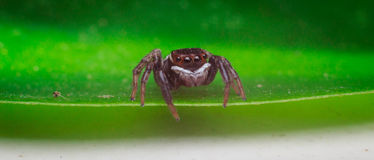 Spider jumping Royalty Free Stock Image