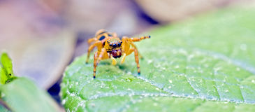 Spider jumping between the leaves of the forest floor. Spider jumping, arachnid species of Salticidae family, the most numerous of the Araneae order, with 500 Royalty Free Stock Photos