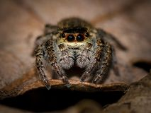 Spider, Jumping Spider Stock Photo