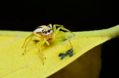 Spider. Jumping spider with yellow forest Thailand Stock Image