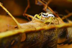 Spider. Jumping spider with yellow forest Thailand Stock Photo