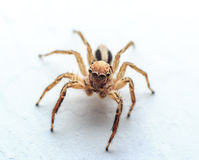 Spider Jumps Royalty Free Stock Photography