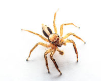 Spider Jumps Royalty Free Stock Photos