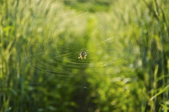 Spider among the keeping-up wheat Royalty Free Stock Photos