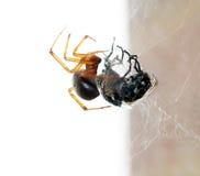 Spider killing it's prey Stock Photo