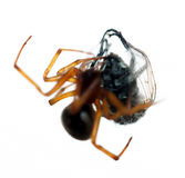 Spider killing it's prey Royalty Free Stock Photos