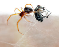 Spider killing it's prey Royalty Free Stock Photo
