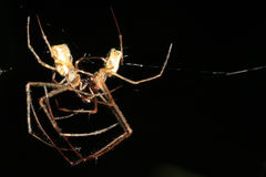 Spider kissing. Two spiders kissing on a spider web Royalty Free Stock Photography