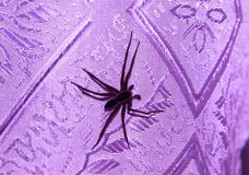 Spider with large long legs stock photo