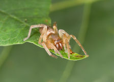 Spider on leaf Royalty Free Stock Photos