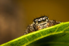 Spider on leaf. Evarcha arcuata female jumping spider from salticidae family of spiders, hiding behind green leaf with beautiful reflection in her eyes Royalty Free Stock Photography