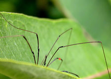 Spider on Leaf. Daddy long legs spider with red spot on leg hiding in a leaf Stock Photos