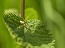 Spider on leaf. Filigree spider on gren leaf in sunny ambiance Royalty Free Stock Images