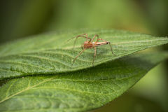 Spider on a leaf Stock Photography