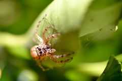 Spider on a leaf Royalty Free Stock Image