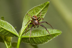 Spider on leaves Royalty Free Stock Images