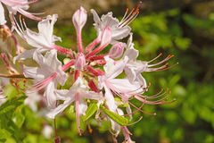 Spider Lilies in the Spring Royalty Free Stock Image