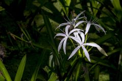 Sunlit Spider Lillies. Spider Lillies, sunlit in a shaded area, early morning royalty free stock photography