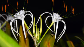 Spider lilly Royalty Free Stock Photography