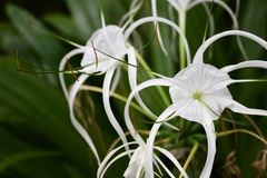Spider lilly white flower in green background royalty free stock photos