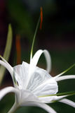 Spider lily Stock Photos