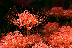 Spider lily Stock Images