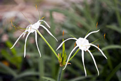 Spider Lily Royalty Free Stock Photo