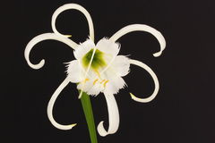 Spider lily Royalty Free Stock Photography