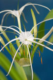 Spider Lily. Closeup of White Spider Lily Royalty Free Stock Image