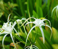 Spider lily Royalty Free Stock Photos