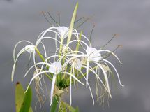 Spider Lily Stock Photography