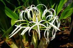 The spider lily Stock Image