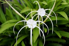 Spider lily Royalty Free Stock Images