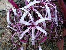 Spider Lily or Crinum amabile. Hawaii royalty free stock images