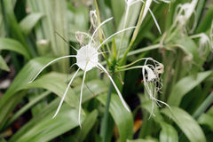 Spider lily. Stock Photography