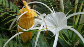 Spider Lily and faded yellow flower Stock Photo