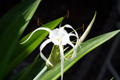 Spider Lily flower Stock Photos