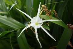 spider lily Stock Image