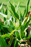 Spider Lily Flower and bud Stock Photos