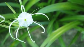 Spider Lily Flower Head White High Definition Footage. Spider lily flower head from the amaryllidaceae family in white with green foliage background, high stock video