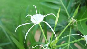 Spider Lily Flower Head White High Definition Footage. Spider lily flower head from the amaryllidaceae family in white with green foliage background, high stock footage