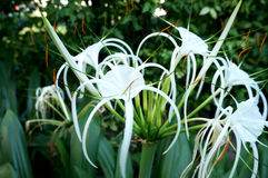 Spider lily and green leaves Stock Photography